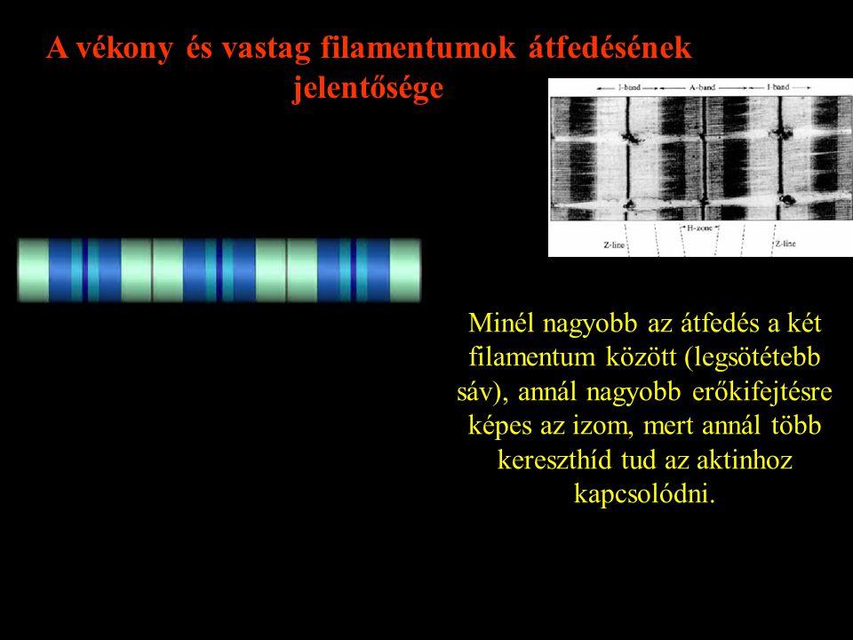 A vékony és vastag filamentumok átfedésének jelentősége