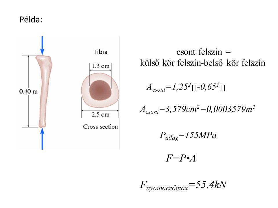 F=P•A Fnyomóerőmax=55,4kN Példa: csont felszín =