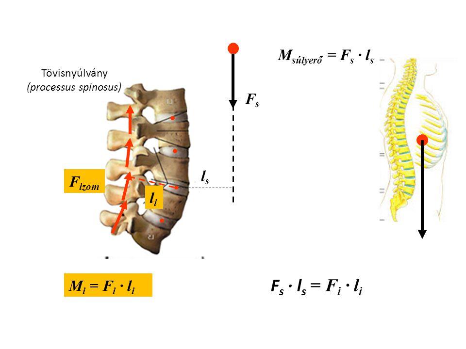 Fs · ls = Fi · li Msúlyerő = Fs · ls Fs ls Fizom li Mi = Fi · li