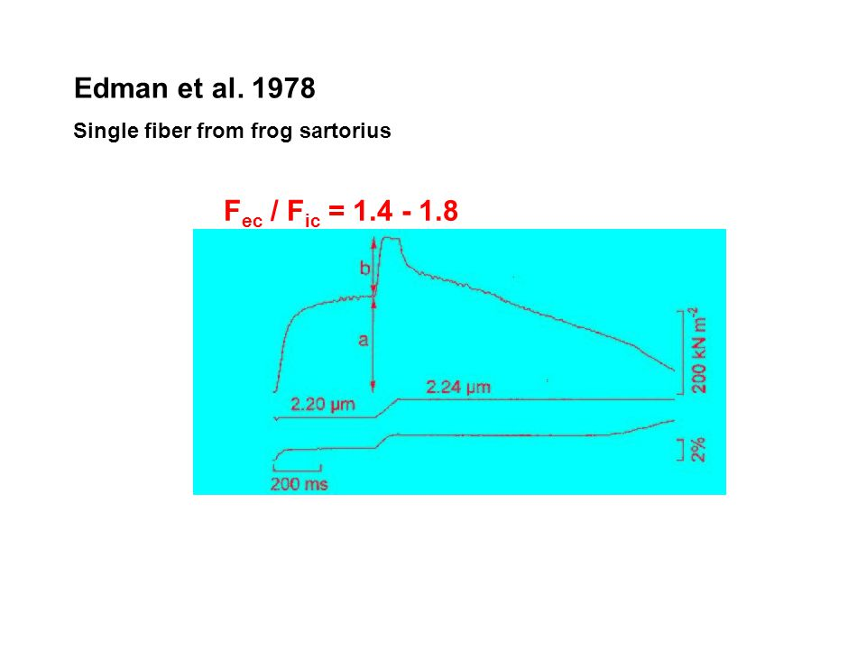 Edman et al. 1978 Single fiber from frog sartorius Fec / Fic = 1.4 - 1.8