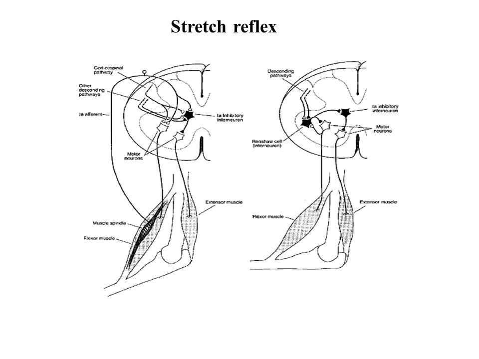 Stretch reflex