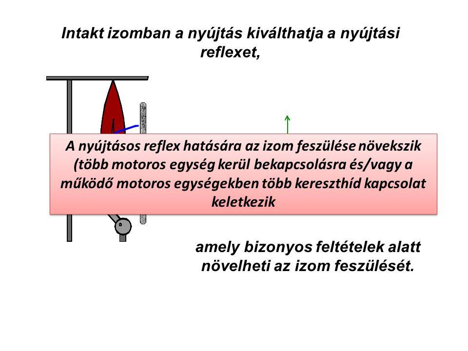 Intakt izomban a nyújtás kiválthatja a nyújtási reflexet,