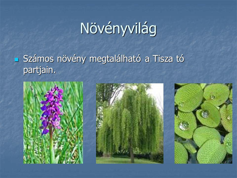 Növényvilág Számos növény megtalálható a Tisza tó partjain.