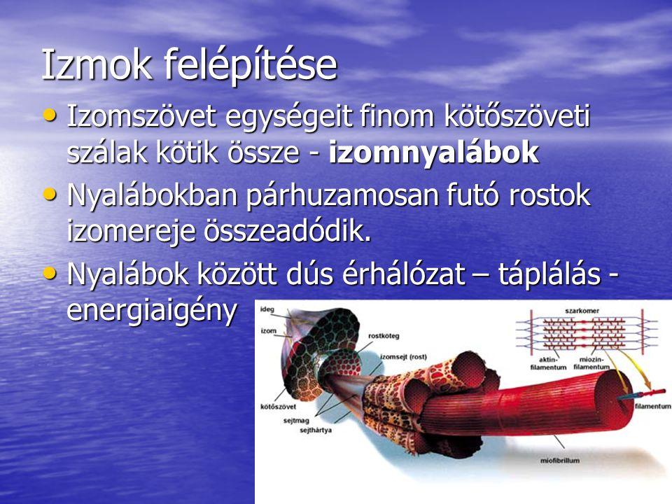 Izmok felépítése Izomszövet egységeit finom kötőszöveti szálak kötik össze - izomnyalábok.