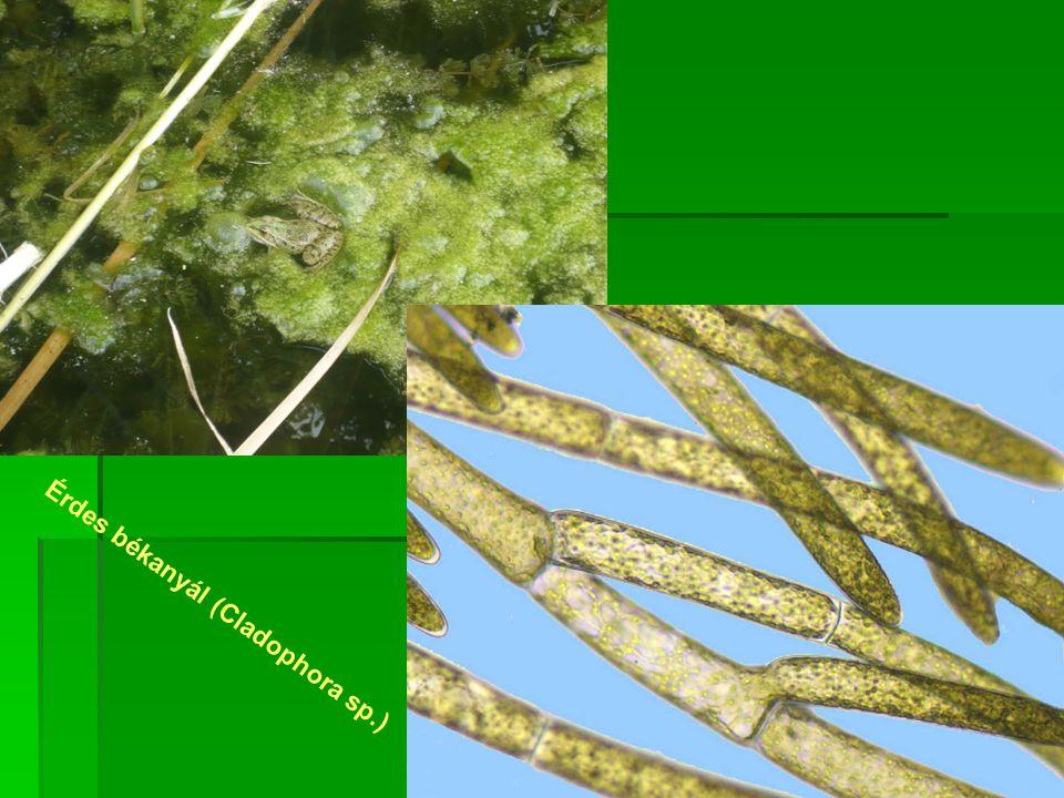 Érdes békanyál (Cladophora sp.)