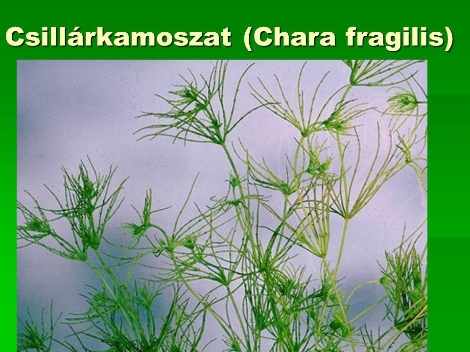 Csillárkamoszat (Chara fragilis)
