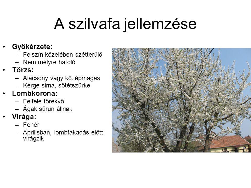 A szilvafa jellemzése Gyökérzete: Törzs: Lombkorona: Virága: