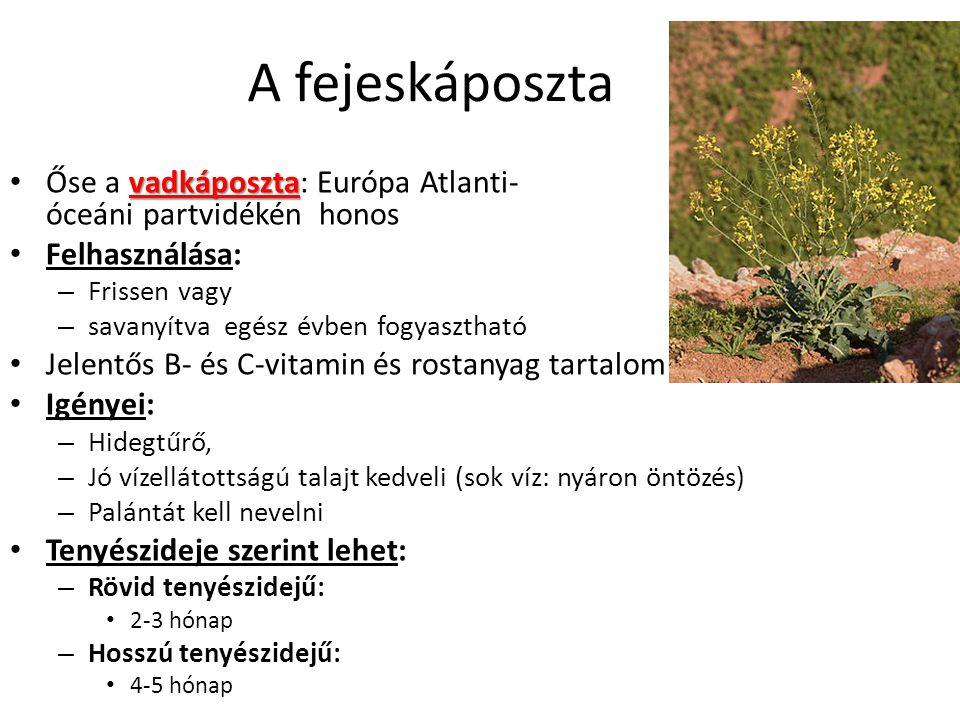A fejeskáposzta Őse a vadkáposzta: Európa Atlanti- óceáni partvidékén honos. Felhasználása: Frissen vagy.