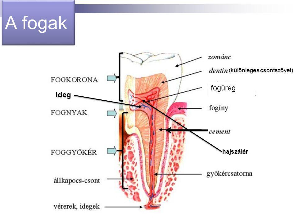 A fogak (különleges csontszövet) fogüreg ideg hajszálér