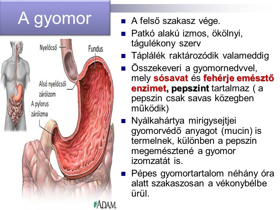A gyomor A felső szakasz vége.