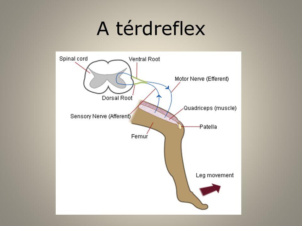 A térdreflex