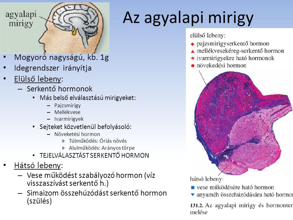 Az agyalapi mirigy Mogyoró nagyságú, kb. 1g Idegrendszer irányítja