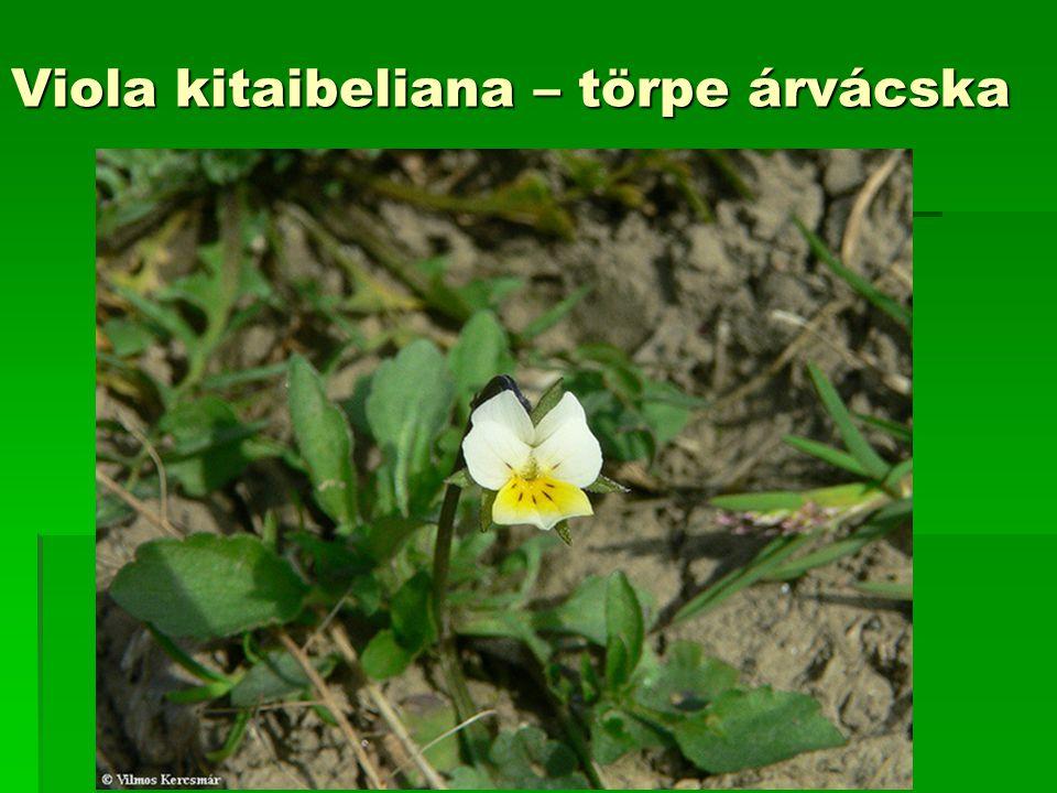 Viola kitaibeliana – törpe árvácska