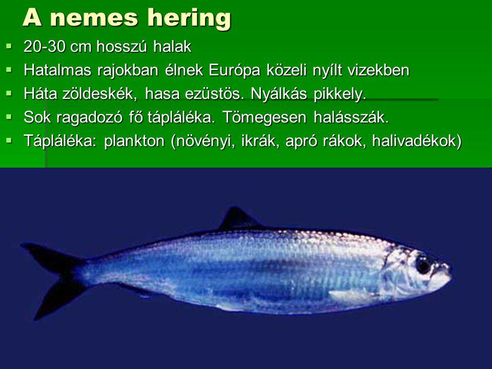 A nemes hering 20-30 cm hosszú halak