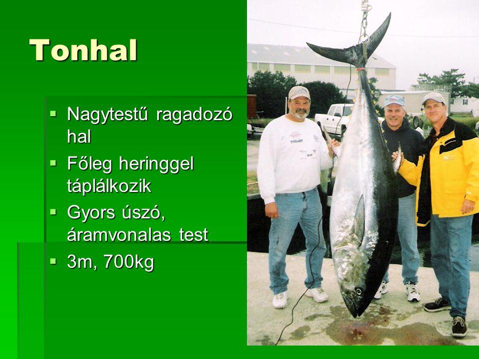 Tonhal Nagytestű ragadozó hal Főleg heringgel táplálkozik