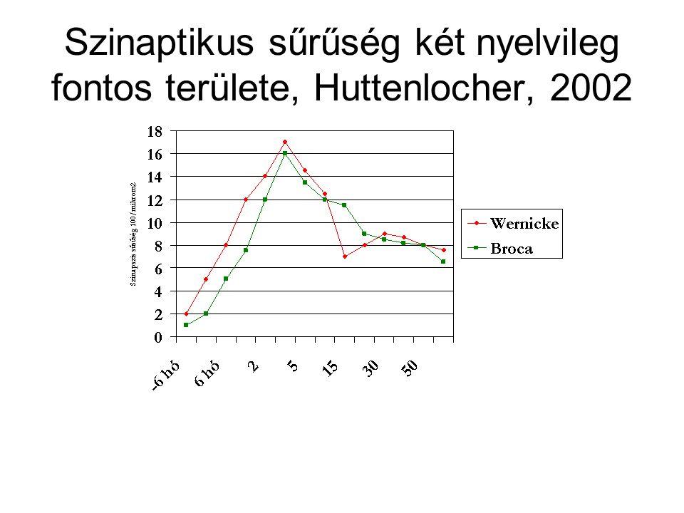 Szinaptikus sűrűség két nyelvileg fontos területe, Huttenlocher, 2002