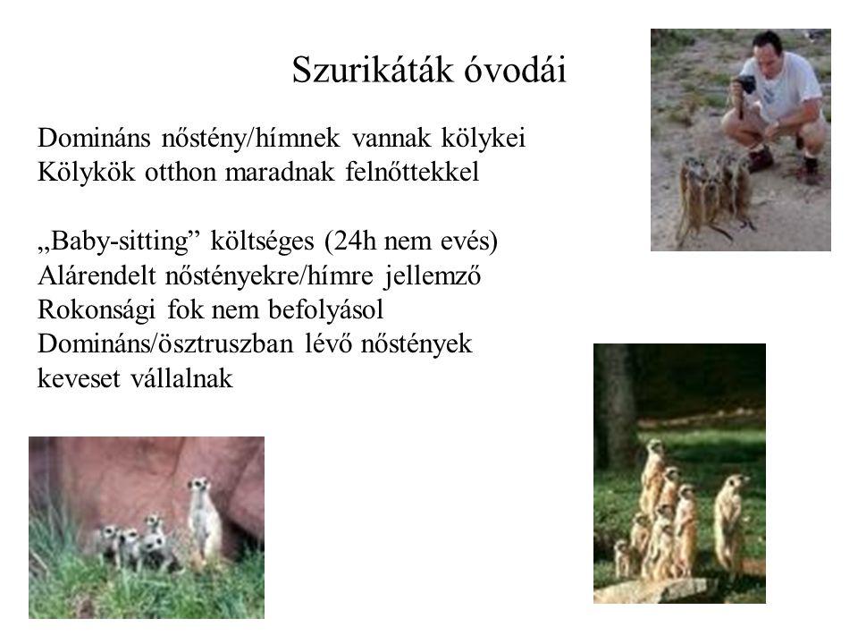 Szurikáták óvodái Domináns nőstény/hímnek vannak kölykei