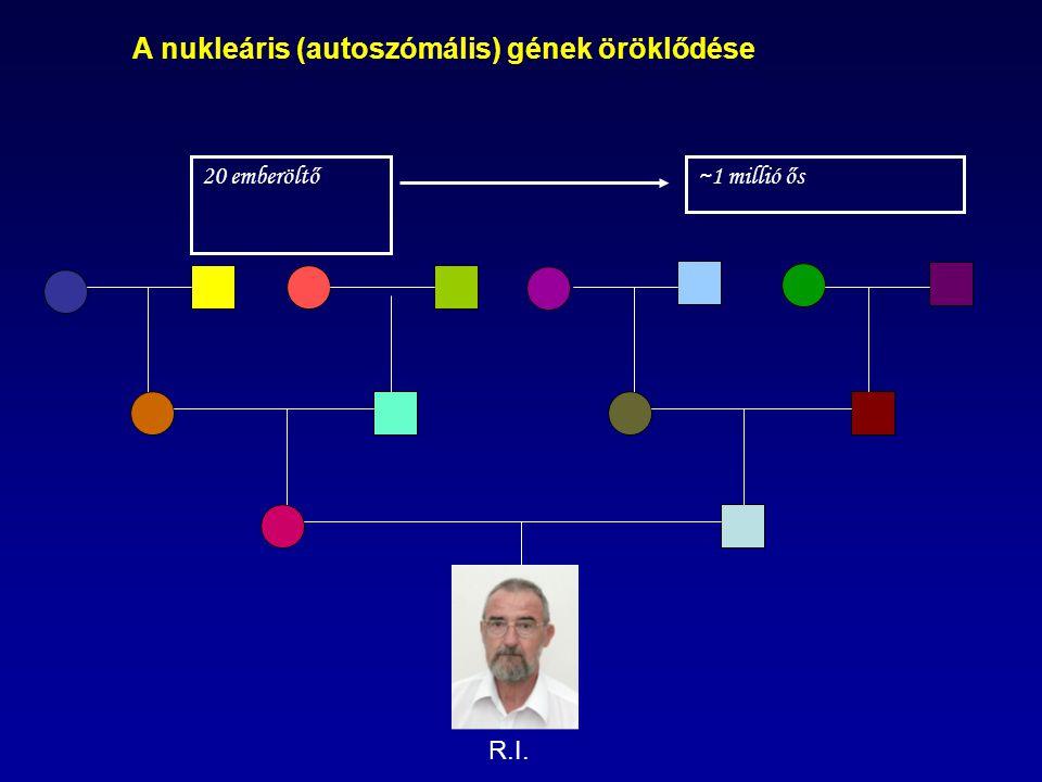 A nukleáris (autoszómális) gének öröklődése