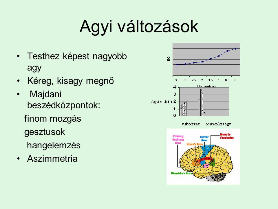 Agyi változások Testhez képest nagyobb agy Kéreg, kisagy megnő
