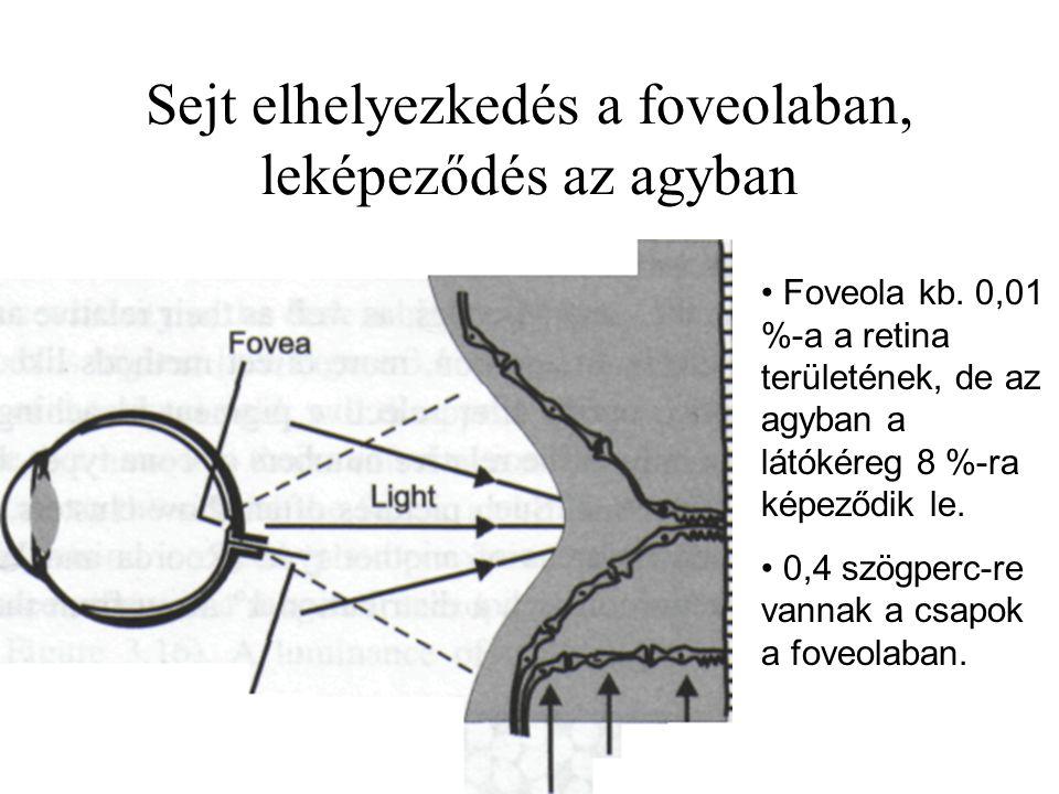 Sejt elhelyezkedés a foveolaban, leképeződés az agyban