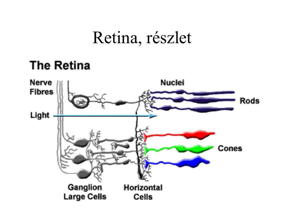 Retina, részlet