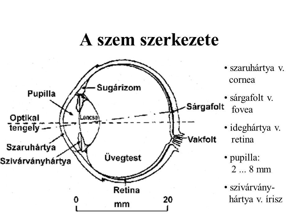 A szem szerkezete szaruhártya v. cornea sárgafolt v. fovea
