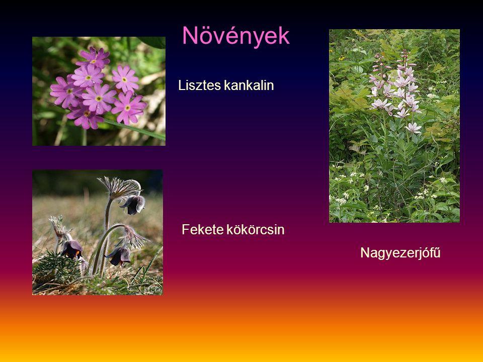 Növények Lisztes kankalin Fekete kökörcsin Nagyezerjófű