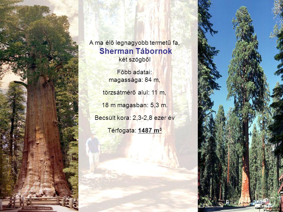 A ma élő legnagyobb termetű fa, Sherman Tábornok két szögből