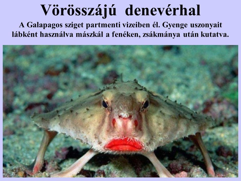 Vörösszájú denevérhal