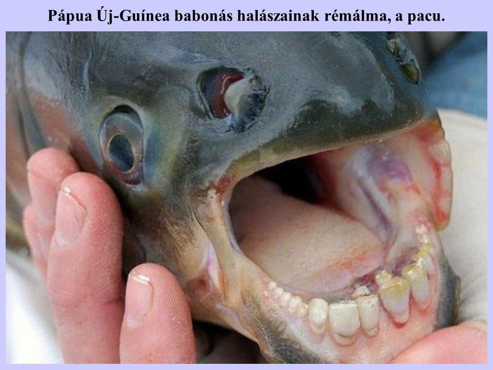 Pápua Új-Guínea babonás halászainak rémálma, a pacu.