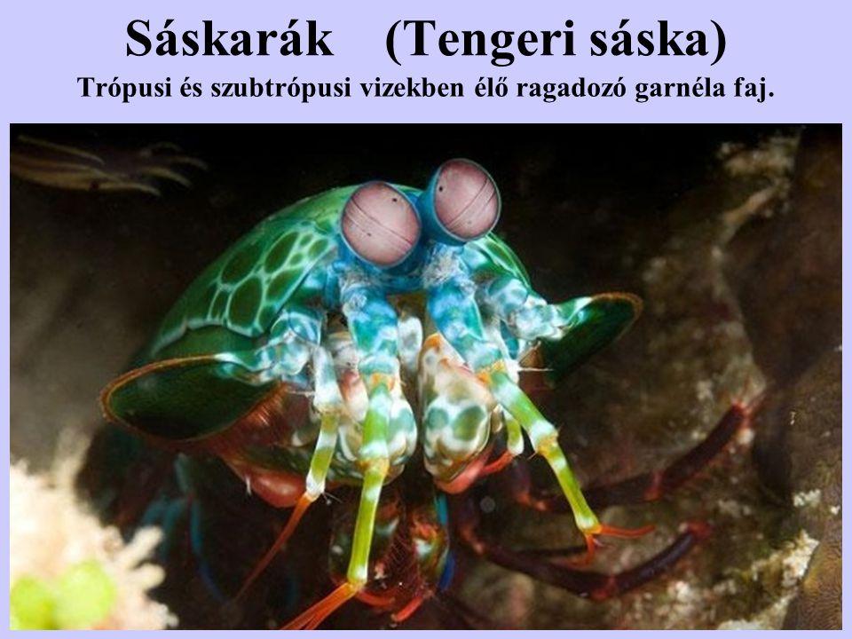 Sáskarák (Tengeri sáska)