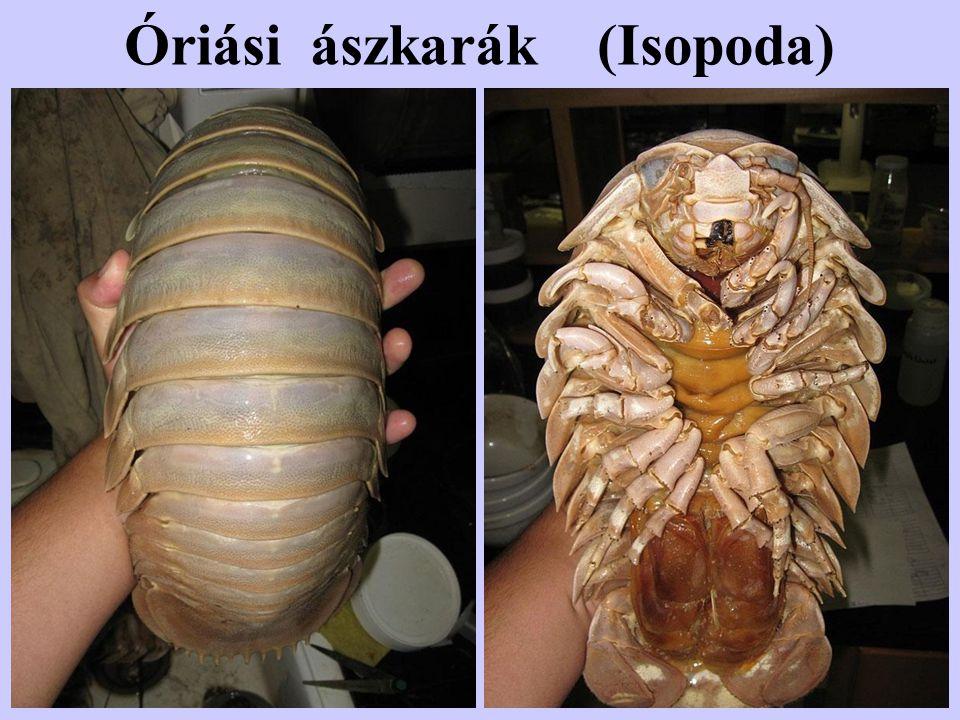 Óriási ászkarák (Isopoda)