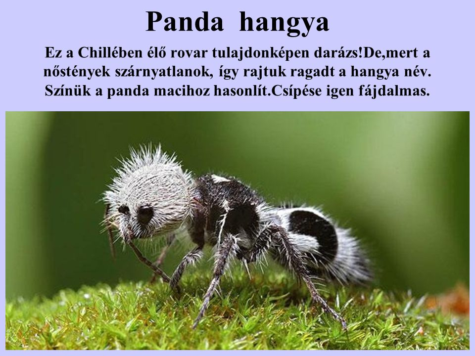 Panda hangya