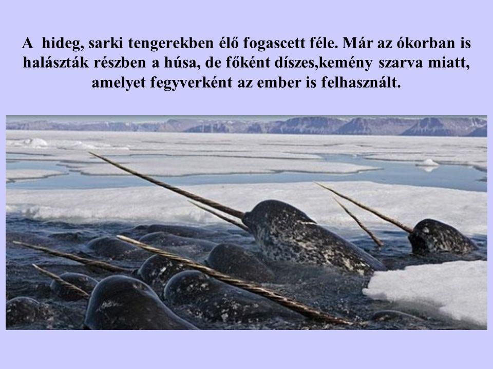 A hideg, sarki tengerekben élő fogascett féle