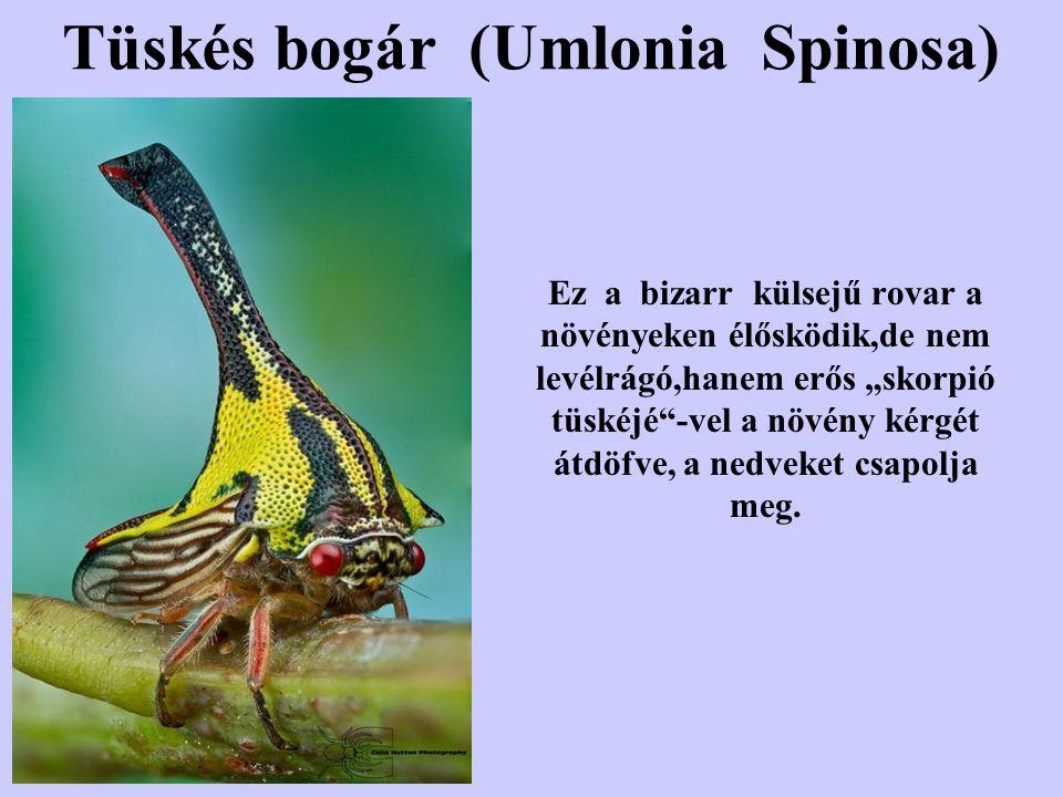 Tüskés bogár (Umlonia Spinosa)