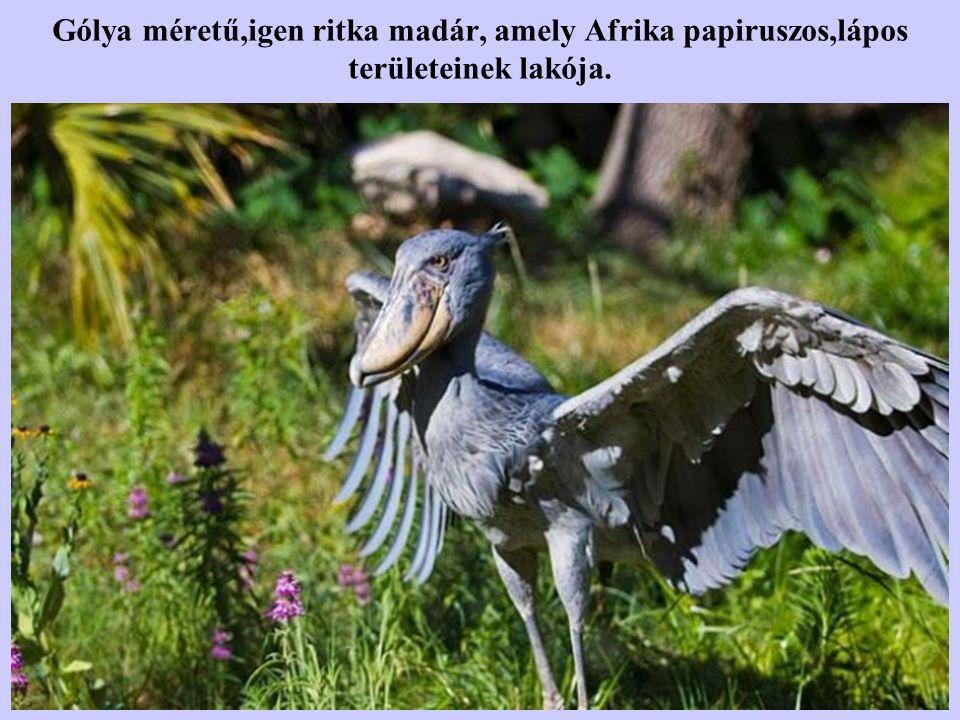 Gólya méretű,igen ritka madár, amely Afrika papiruszos,lápos területeinek lakója.