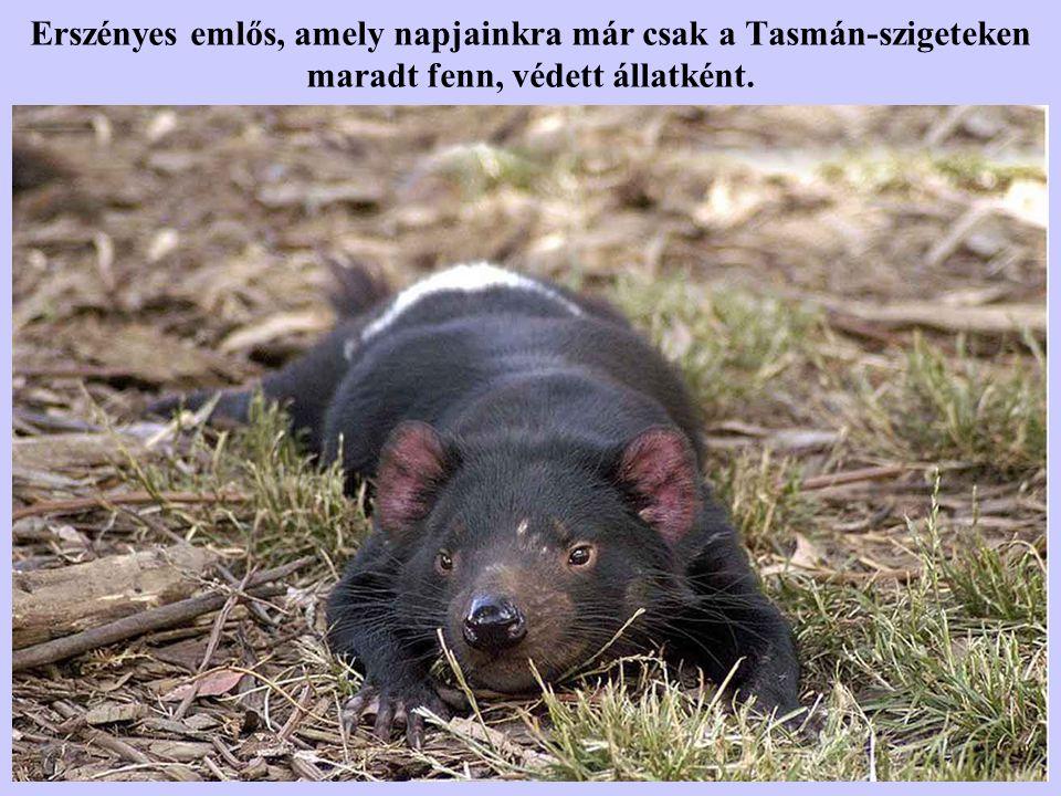 Erszényes emlős, amely napjainkra már csak a Tasmán-szigeteken maradt fenn, védett állatként.