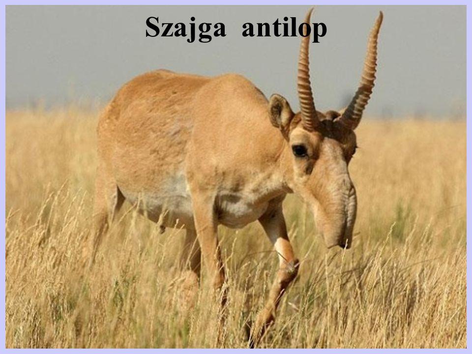 Szajga antilop
