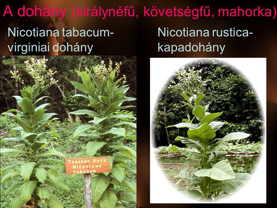 A dohány (királynéfű, követségfű, mahorka)