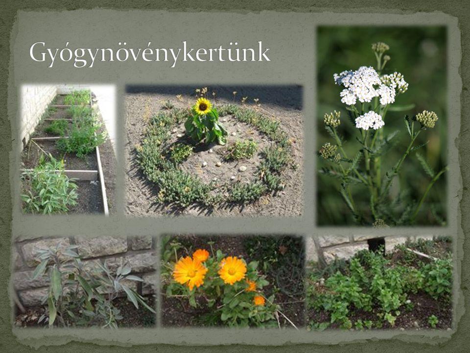 Gyógynövénykertünk