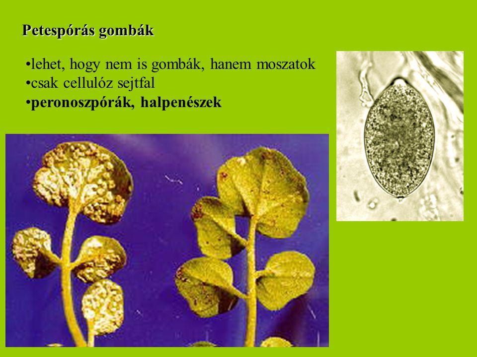 Petespórás gombák lehet, hogy nem is gombák, hanem moszatok.