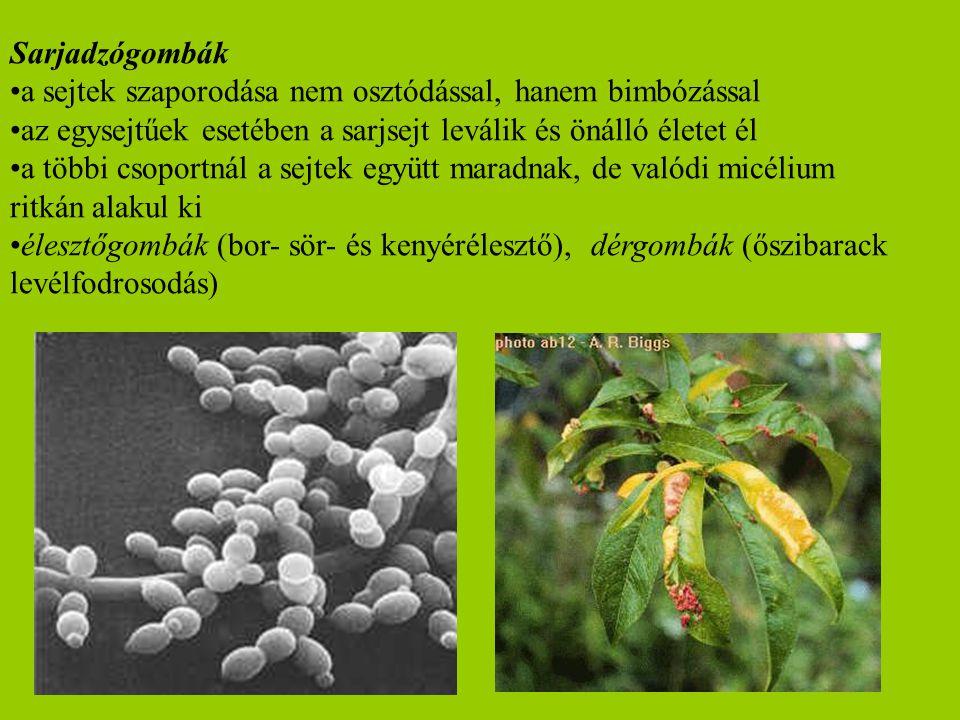 Sarjadzógombák a sejtek szaporodása nem osztódással, hanem bimbózással. az egysejtűek esetében a sarjsejt leválik és önálló életet él.
