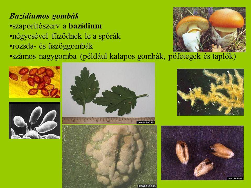 Bazídiumos gombák szaporítószerv a bazídium. négyesével fűződnek le a spórák. rozsda- és üszöggombák.