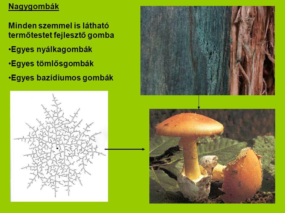 Nagygombák Minden szemmel is látható termőtestet fejlesztő gomba. Egyes nyálkagombák. Egyes tömlősgombák.