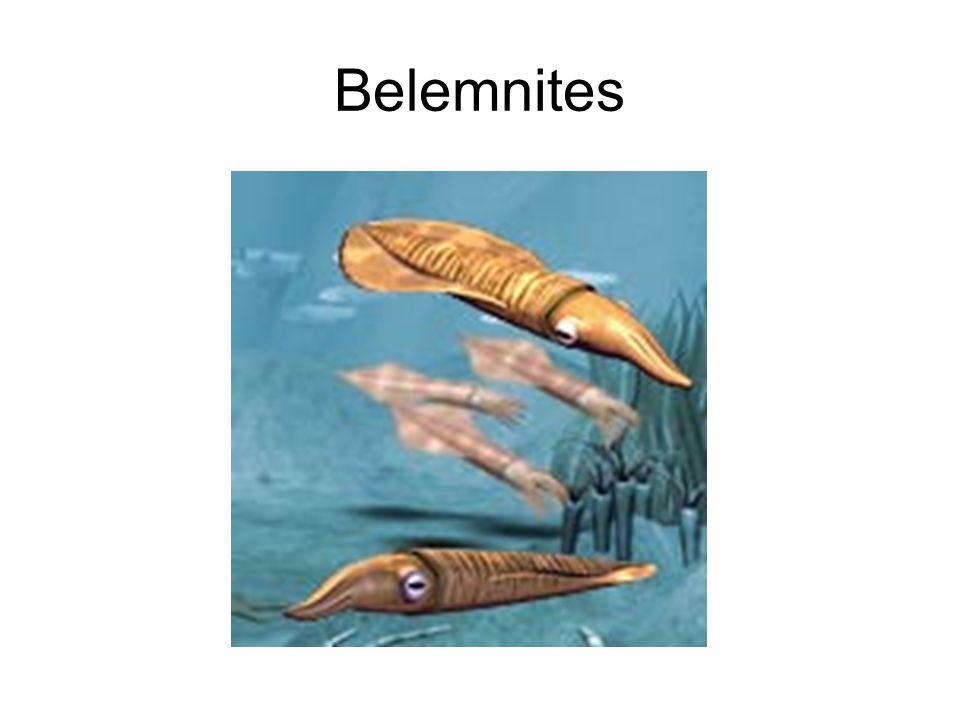 Belemnites