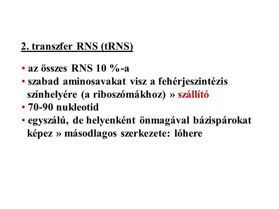 2. transzfer RNS (tRNS) az összes RNS 10 %-a. szabad aminosavakat visz a fehérjeszintézis színhelyére (a riboszómákhoz) » szállító.