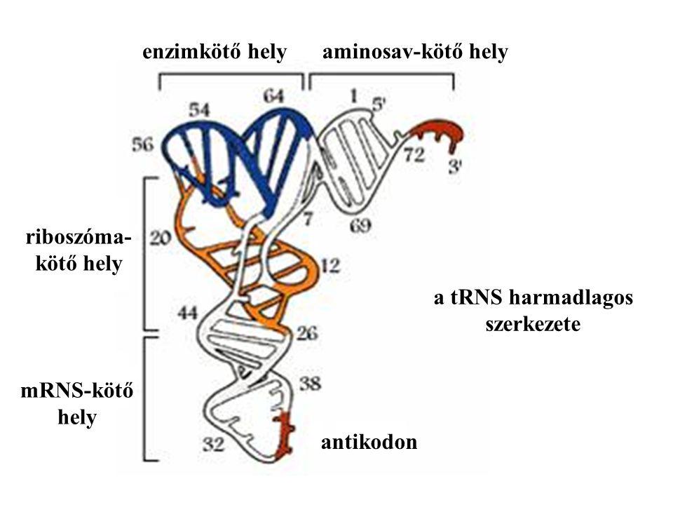 a tRNS harmadlagos szerkezete. aminosav-kötő hely. enzimkötő hely. antikodon. mRNS-kötő. hely.