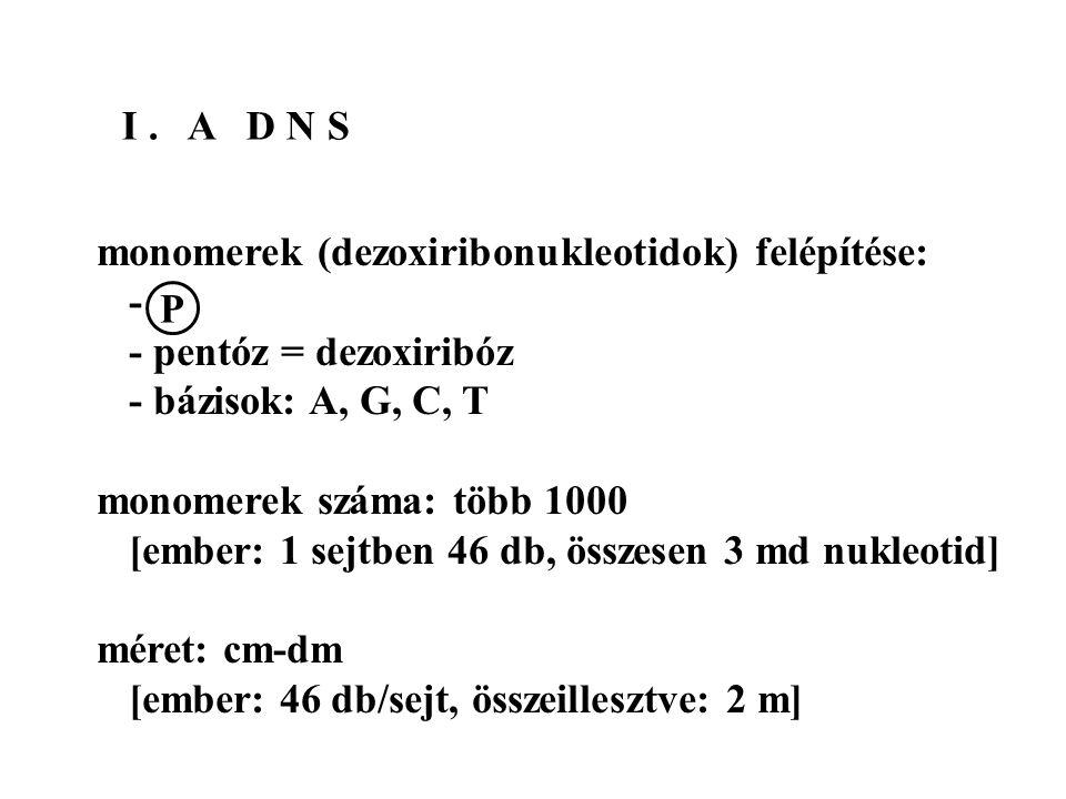 I . A D N S monomerek (dezoxiribonukleotidok) felépítése: - - pentóz = dezoxiribóz. - bázisok: A, G, C, T.