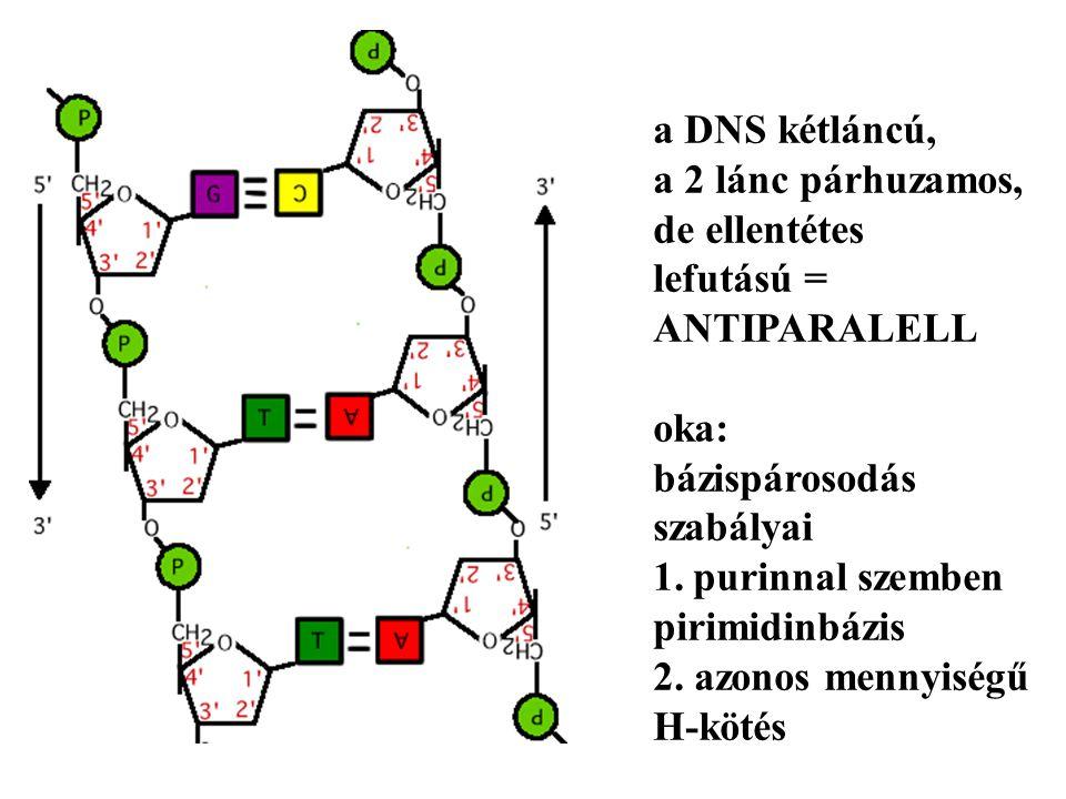 a DNS kétláncú, a 2 lánc párhuzamos, de ellentétes. lefutású = ANTIPARALELL. oka: bázispárosodás.