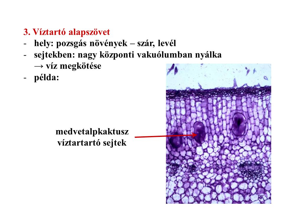 3. Víztartó alapszövet hely: pozsgás növények – szár, levél. sejtekben: nagy központi vakuólumban nyálka → víz megkötése.